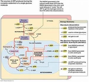 Glucose Metabolism Diagram Glucose Metabolism Diagram