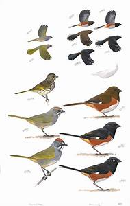 Green-tailed Towhee And Eastern Towhee