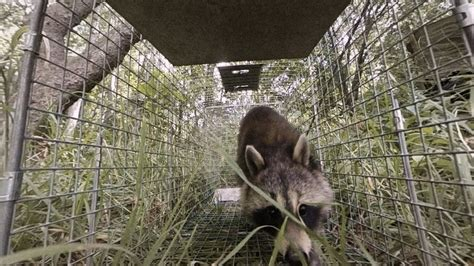 raccoon family invades  boston apartment intruders