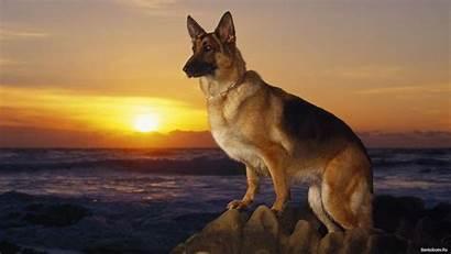 Shepherd German Dog Wallpapers Sunset Dogs Animals