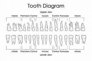 How Many Teeth Do Humans Have  Diagrams  Types   U0026 Functions  U2014 Teeth Talk Girl
