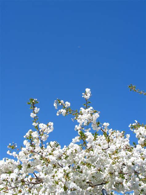 keren  wallpaper bunga sakura biru koleksi