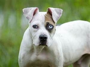 White And Brown American Bulldog Mixed Breed Puppy Dog ...