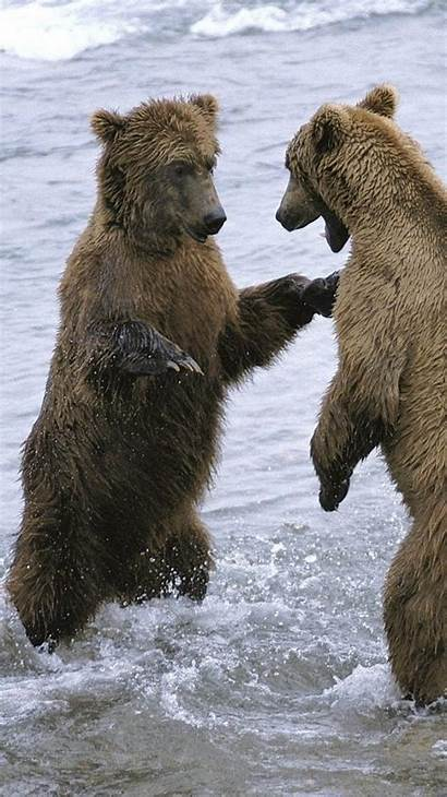 Bears Animals Water Iphone Mobile