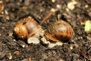 Snails Having Sex Snails Are Hermaphrodites Meaning They