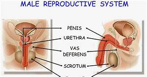 Ceip San Jos U00c9 De Calasanz  Reproductive System Diagram