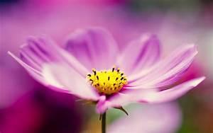 Purple, Cosmos, Flower, Wallpapers