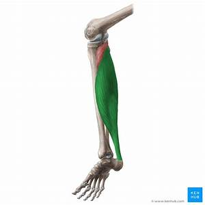 Triceps Surae Muscle  Anatomy  Supply And Components