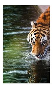 1920x1080 Tiger 4k Laptop Full HD 1080P HD 4k Wallpapers ...