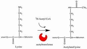 Acetylation Assays Using Acetyl Coa Perkinelmer