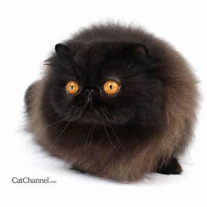 Different Grey Cat Breeds | Black cat breeds, Persian cats ...