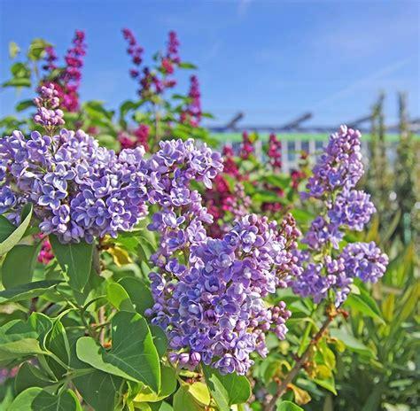 piante bellissime da giardino piante da giardino sempreverdi a cespuglio galleria di