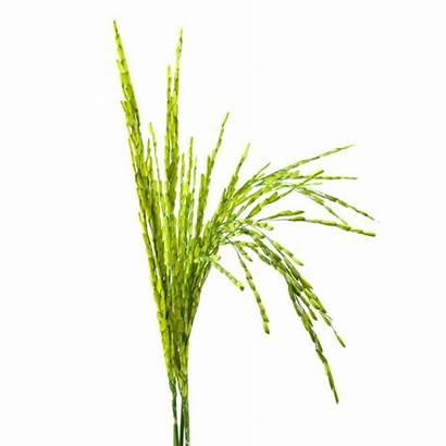 Rice Crop Plant Psd Vectors Cereal Ear