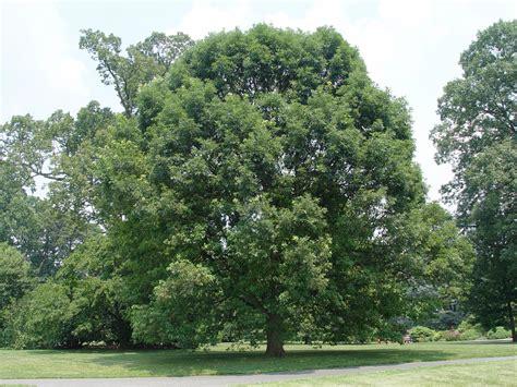 Top 10 Shade Trees  Garden Housecalls