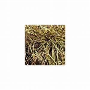 Carex Hachijoensis Evergold Pflege : carex hachijoensis 39 evergold 39 plantes et jardins ~ Lizthompson.info Haus und Dekorationen