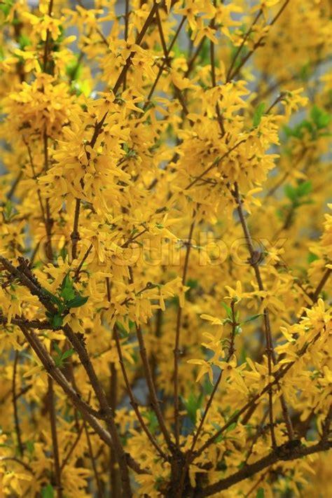 fruehling strauch mit gelben blueten blooming forsythia