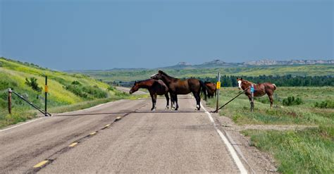 montana horses wild roadblock road central ran traffic bit through into tau0