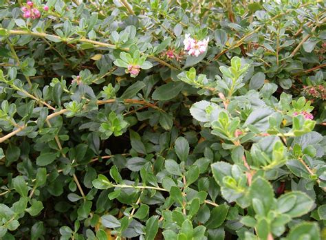 pictures of shrubs and bushes print photos view full size image