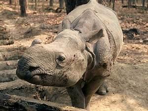 Javan Rhinoceros | Animal Wildlife