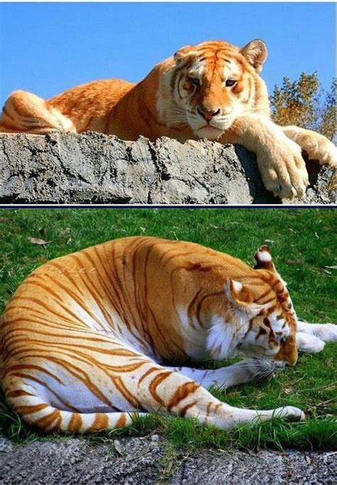 Hobbs Golden Tiger Tabby One With