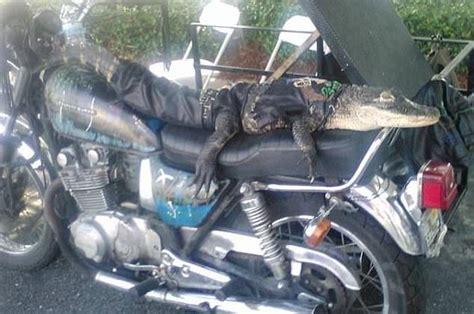 Florida Woman Gets To Keep Motorcycle-riding Pet Alligator