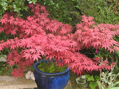 planting japanese maple trees japanese maple garden and plant photos plantadvice co uk