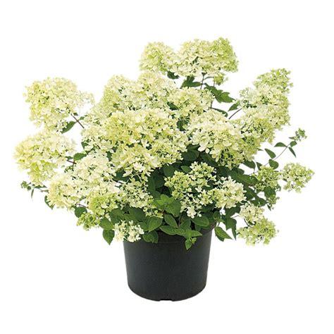 Shop 1 Gallon White Bombshell Hydrangea Flowering Shrub