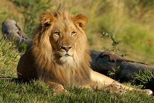 Lion | The Biggest Animals Kingdom