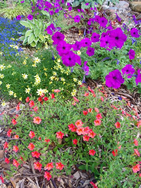 garden flowering plants petunia plant is the flower of the year shawna coronado