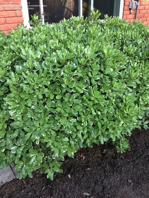 Plant Identification Closed Identify A Bushshrub In New