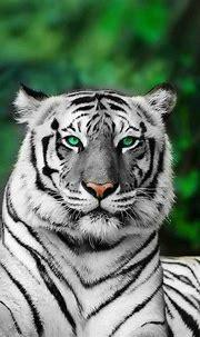Albino Tiger   Animals, Animals beautiful, Animals wild