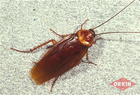 cockroaches in garage american cockroach identification get rid of