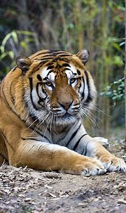 Tiger Eyes | Tiger, Tiger eye, Big cats