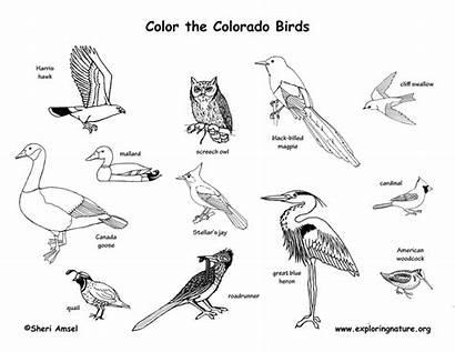 Birds Colorado State Coloring Exploringnature
