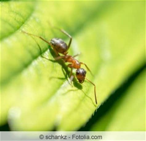 Die Besten Hausmittel Gegen Ameisen