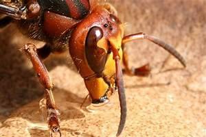 Schwarze Wespe Deutschland : wespen und hornissen bayern summt ~ Whattoseeinmadrid.com Haus und Dekorationen