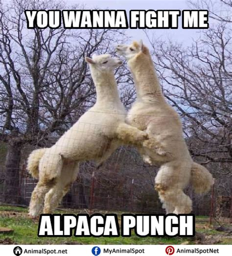 Alpaca Meme Alpaca Memes