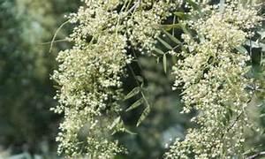 Planta Anacahuita y sus caracteristicas Medicinales Tusplantasmedicinales