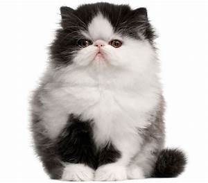 Pin White-persian-kittens-cats on Pinterest