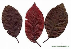 Laubbaum Mit Roten Blättern : blut pflaume prunus cerasifera 39 nigra 39 herbstf rbung bestimmen blut pflaume ~ Frokenaadalensverden.com Haus und Dekorationen
