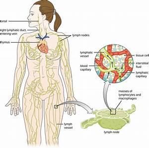 Skin Diagram Blood Capillaries Images 598