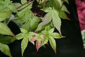 Erable Du Japon Entretien : acer palmatum 39 shin deshojo 39 ~ Nature-et-papiers.com Idées de Décoration