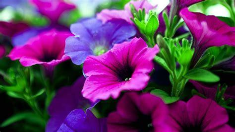 petunias flowers pink  purple tree  green leaves