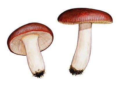 pretīgā bērzlape - Russula nauseosa (Pers.: Fr.) ss. Bres ...
