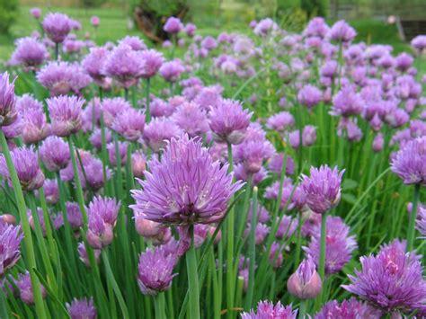 recettes aux fleurs de ciboulette jardin paysagiste 27 28 78 jardin paysagiste conception