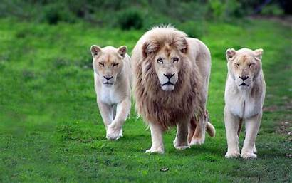 Lion Nature Animals Desktop Wallpapers Animal Backgrounds