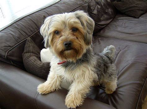 do yorkies shed hair puppy gallery pictures