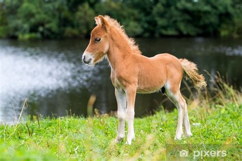 aufkleber falabella mini pferd fohlen pixers wir
