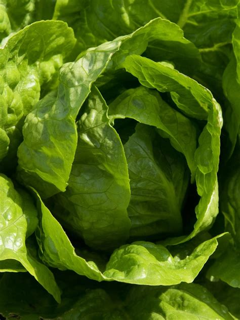 pictures of lettuce growing the best types of lettuce for containers hgtv