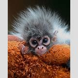 Baby Spider Monkey Pictures | 500 x 625 jpeg 77kB